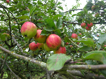 Celebrating National Apple Day Sunday 21st September - at the Shropshire Hills Discovery Centre